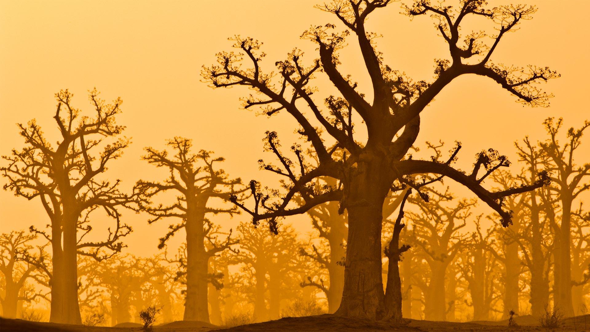 「バオバブの森」セネガル, バンディア自然保護区 (© Frans Lanting/plainpicture)