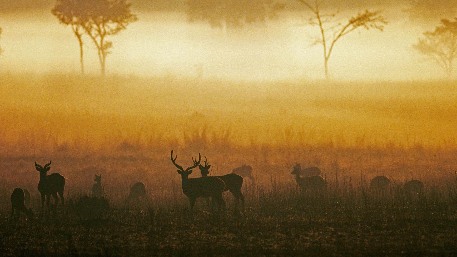 「霧の中のアクシスジカ」インド, マディヤ・プラデーシュ州 (© Pete Oxford/Minden Pictures)