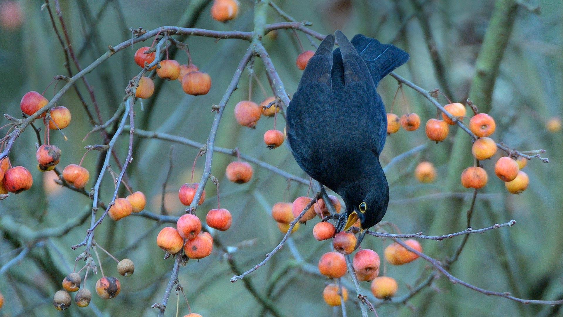 「野生のリンゴをついばむクロウタドリ」イギリス, ウィルトシャー (© Nick Upton/Minden Pictures)