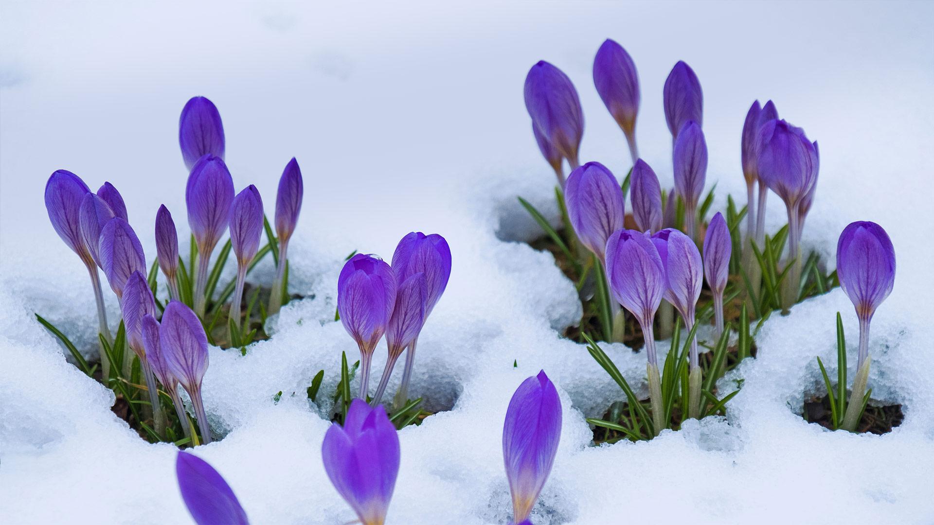 「雪とクロッカス」 (© Lorianne Ende/Getty Images)
