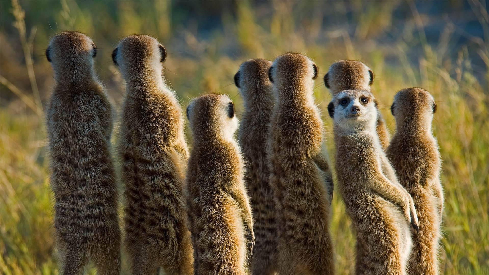 「ミーアキャットの家族」ボツワナ, カラハリ砂漠 (© Aluma Images/Getty Images)