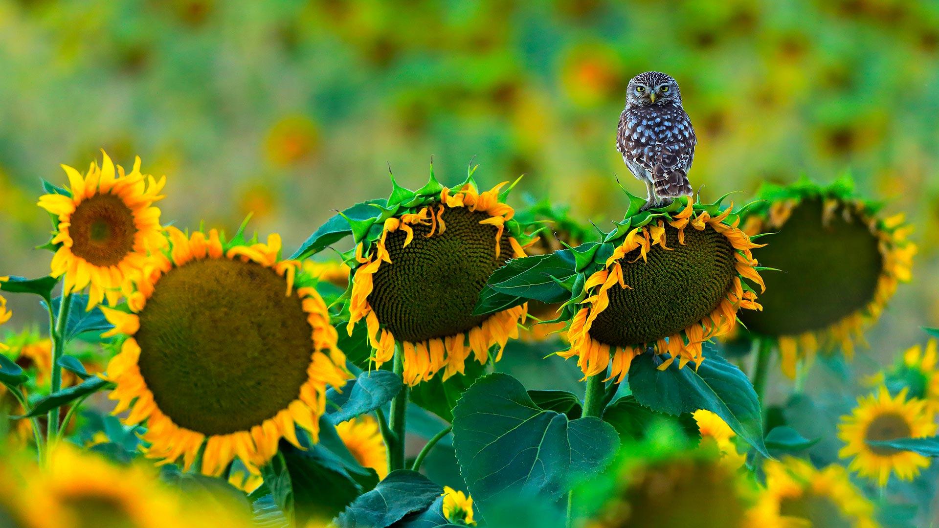 OwlSunflowers_ZH-CN8154999485