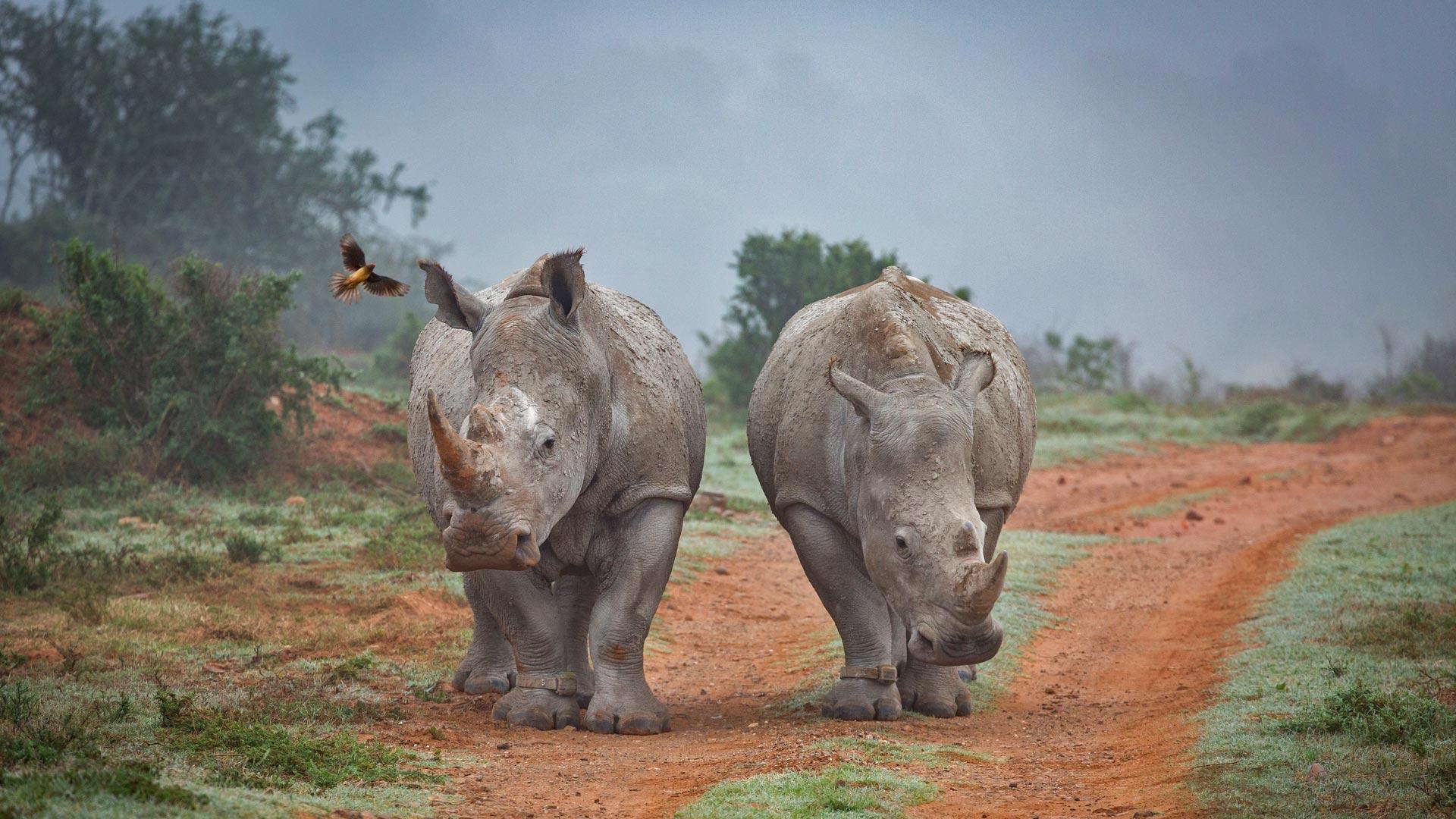 「サイとウシツツキ」南アフリカ, アマカーラ生物保護区 (© Robert Harding World Imagery/Offset)