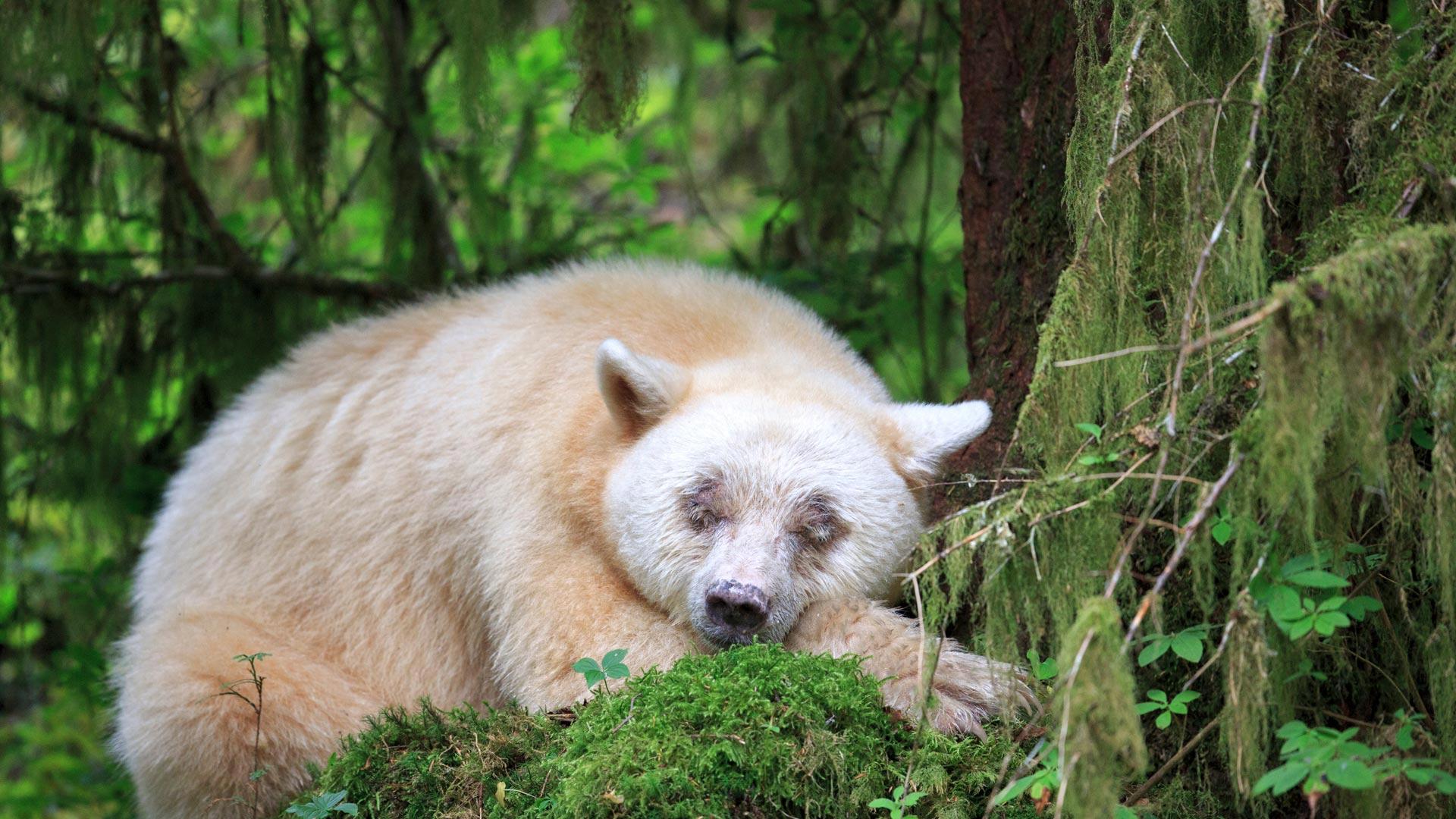 「眠るスピリット・ベア」カナダ, ブリティッシュコロンビア州 (© John E Marriott/SuperStock)