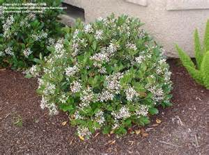 gulf green hawthorn picture 10