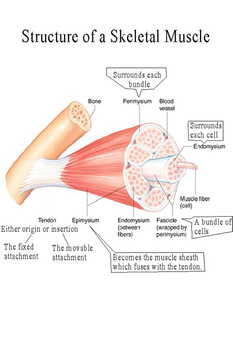 muscle functions picture 1