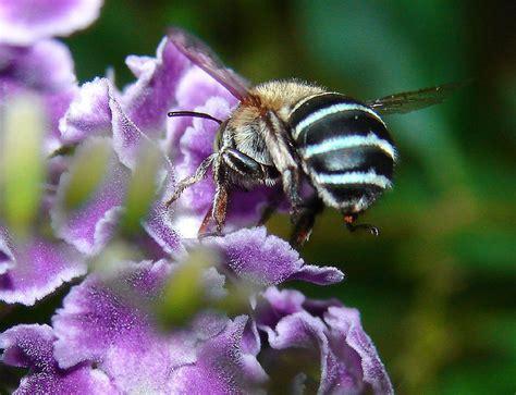 australian hair bee picture 13