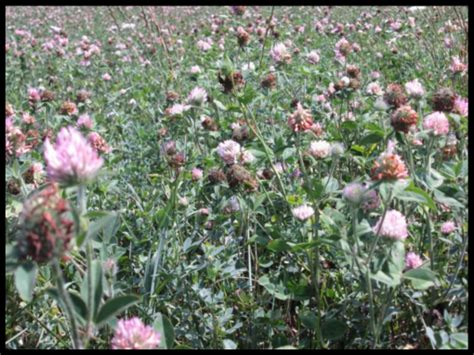 red clover yields picture 3