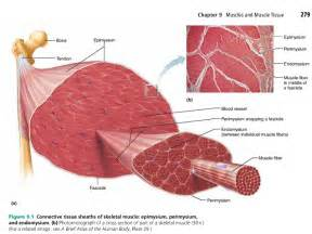 diagrams of skeletal muscle fiber picture 15