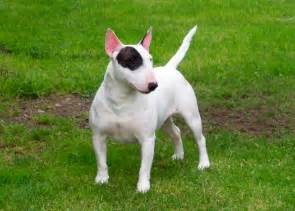 hip out of joint in small toy breed picture 6