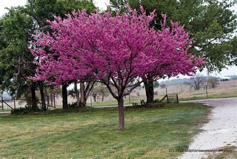 pruning smoke tree picture 10