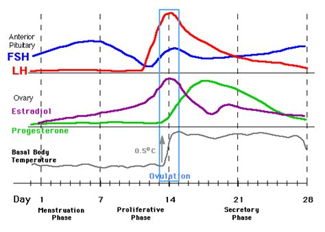 testosterone in menstrual cycle picture 21