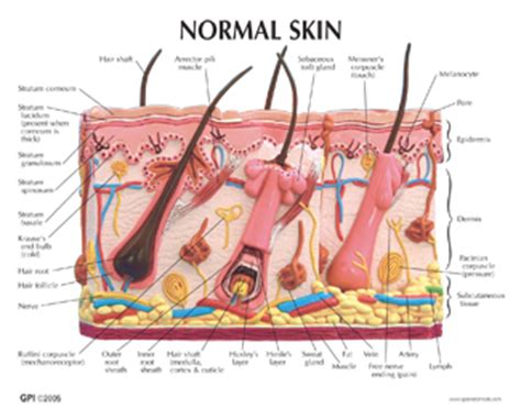 structure of the skin models picture 5