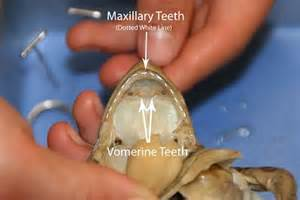 maxillary h picture 3