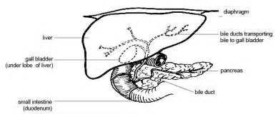 anatomy rat liver picture 3