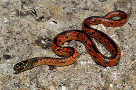 aging your king snake picture 14