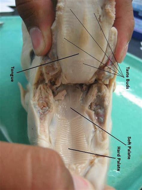 fetal pig digestion system picture 1