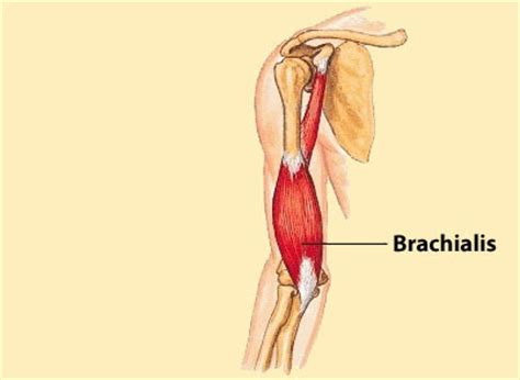 flexor carpi radialis muscle picture 11