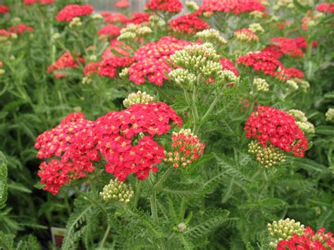 cut back yarrow picture 18