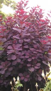 caring for purple smoke trees picture 14