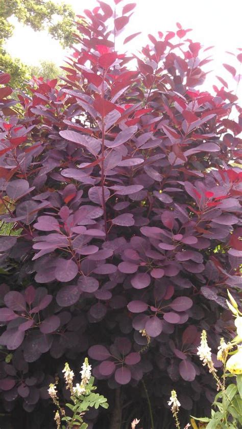 smoke tree, pink mist for sale picture 15