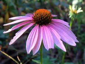echinacea purposes picture 5