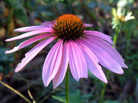echinacea flower picture 11