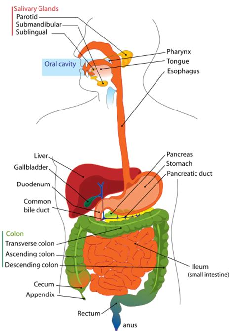 anatomy and physiology of colon ppt picture 8