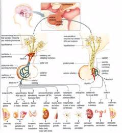 pituitary gland testosterone levels picture 2