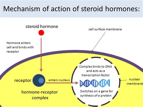 action of testosterone hormone picture 2