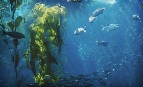 kelp for stress picture 6