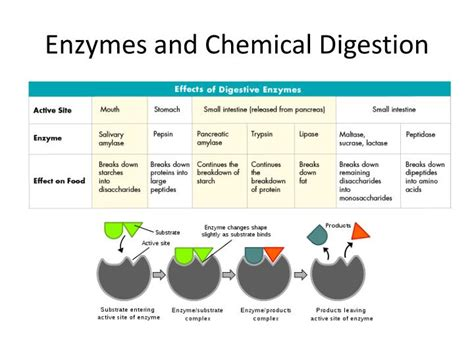 chemical digestion picture 10