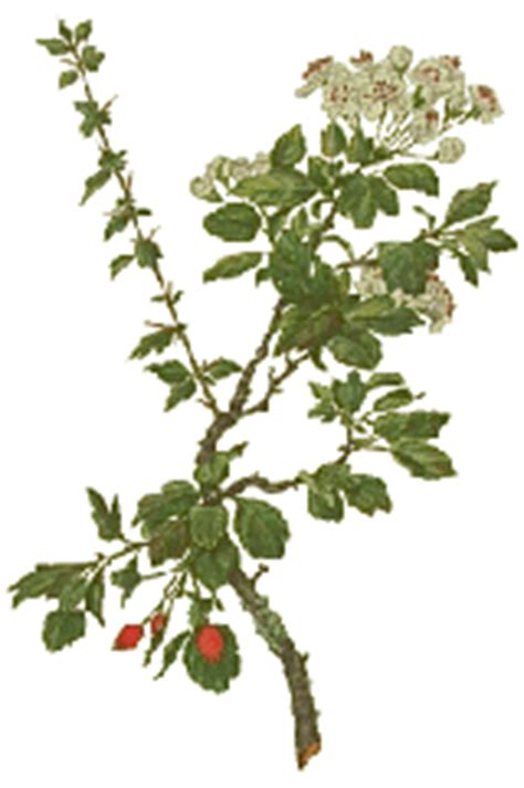 does hawthorn berry work picture 2