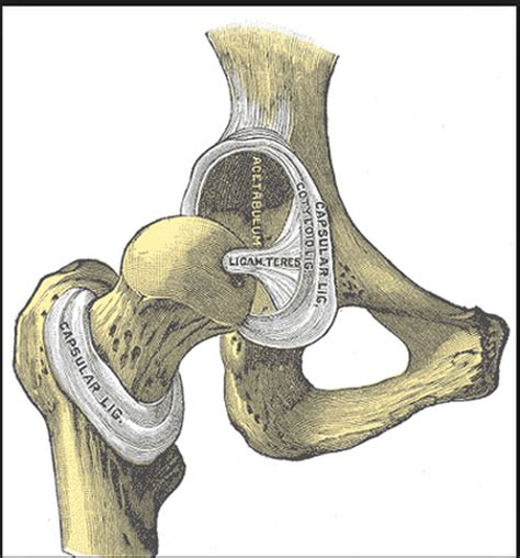canine hip joint photos picture 5