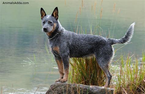 austrailian cattle dog diet picture 1