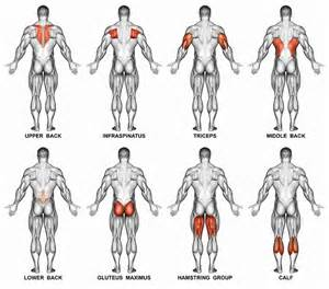 muscle groups picture 18