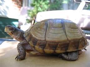 box turtles diet picture 11