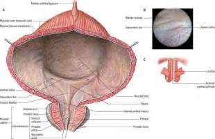 bladder kneck picture 15