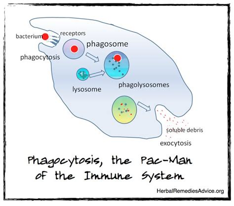 what systems does the liver work with picture 6