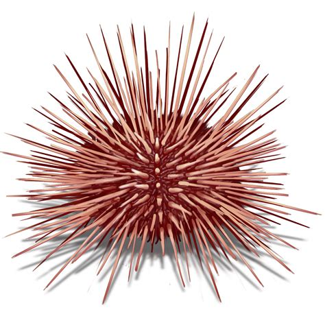 cholesterol level of sea urchin picture 9