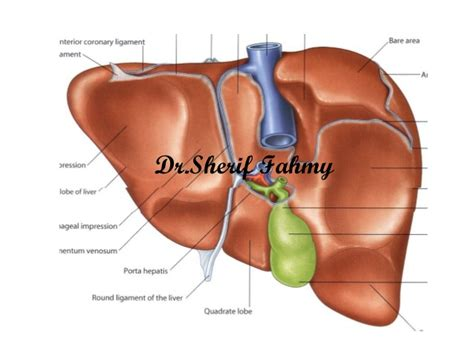 anatomy of liver picture 11