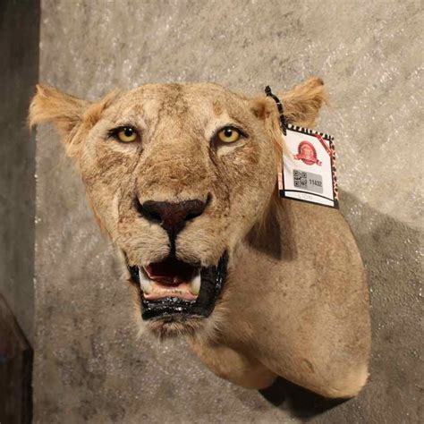 african lion tooth taxidermy picture 10