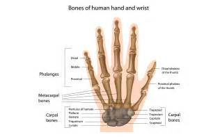 bones and joints picture 2