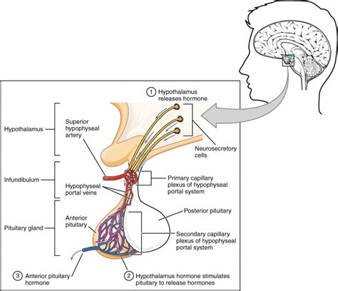 anterior pituitary picture 3