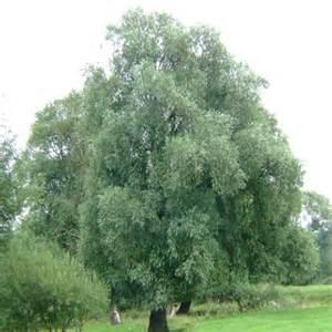 echinacea dosage picture 7