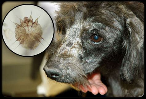 dog skin disease picture 10