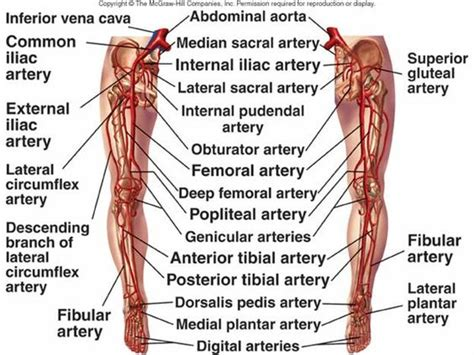 lower leg artery anatomy on web md picture 3
