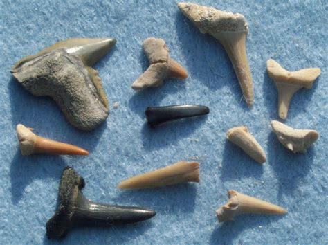 fossilized shark teeth picture 18