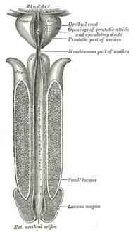 urethralis penis picture 9