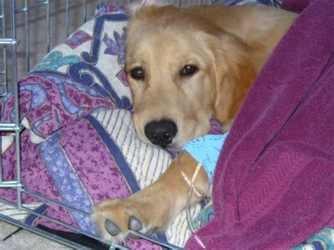 liver problems in puppies picture 10